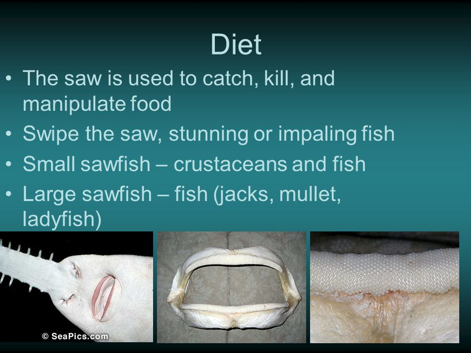 Diet The saw is used to catch, kill, and manipulate food Swipe the saw, stunning or impaling fish Small sawfish – crustaceans and fish Large sawfish – fish (jacks, mullet, ladyfish)