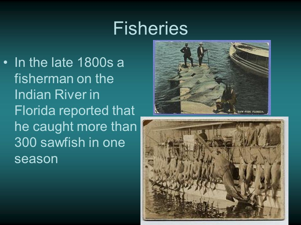 Fisheries In the late 1800s a fisherman on the Indian River in Florida reported that he caught more than 300 sawfish in one season