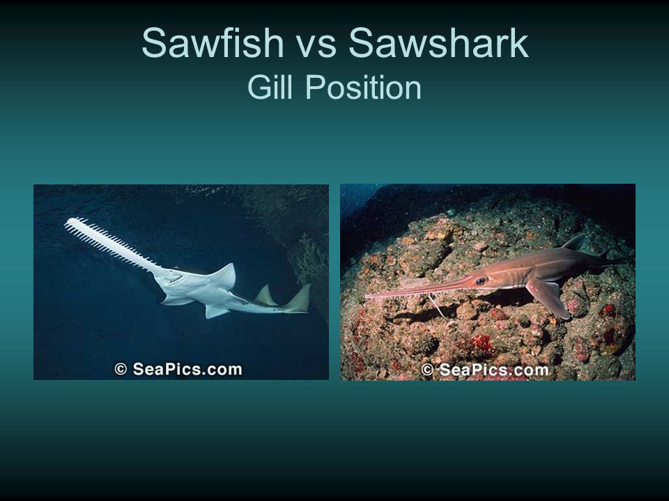 Sawfish vs Sawshark Gill Position