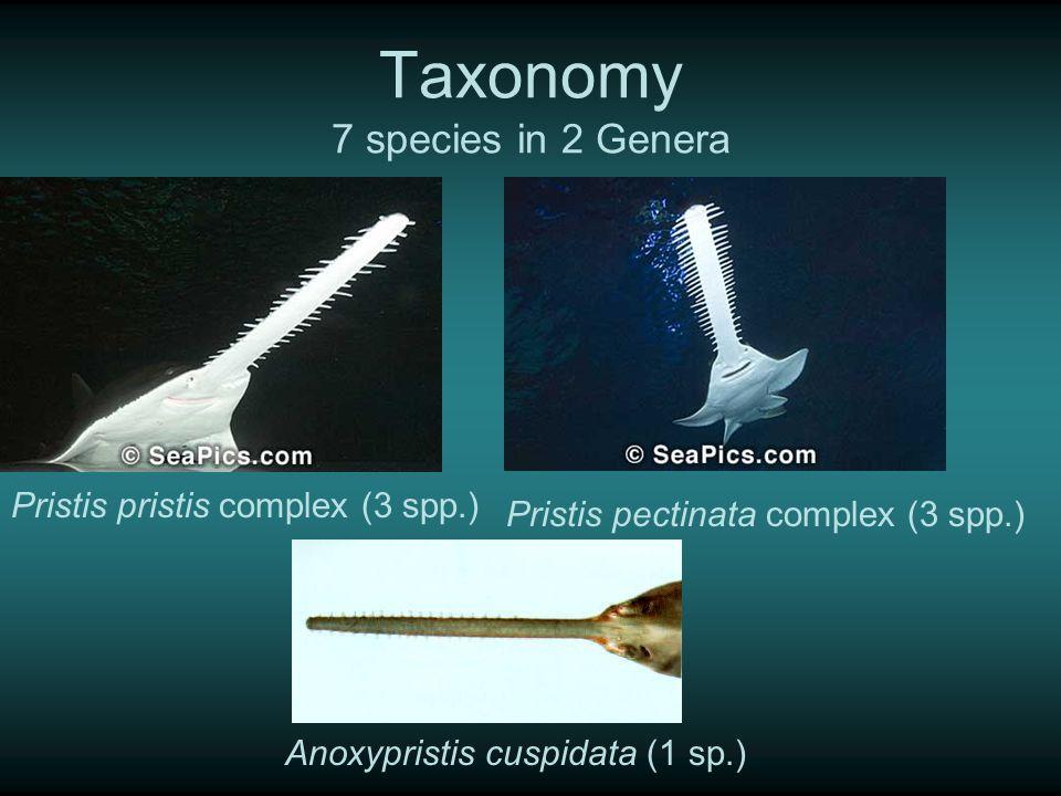 Taxonomy 7 species in 2 Genera Anoxypristis cuspidata (1 sp.) Pristis pristis complex (3 spp.) Pristis pectinata complex (3 spp.)
