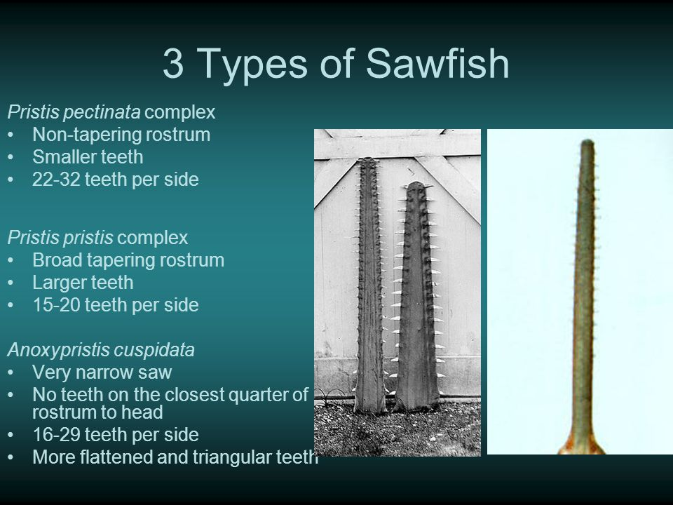 Status All 7 sawfish species are critically endangered P.