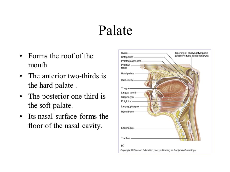 Palate Forms the roof of the mouth The anterior two-thirds is the hard palate.