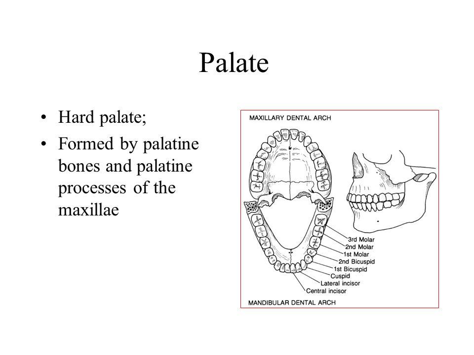 Palate Hard palate; Formed by palatine bones and palatine processes of the maxillae
