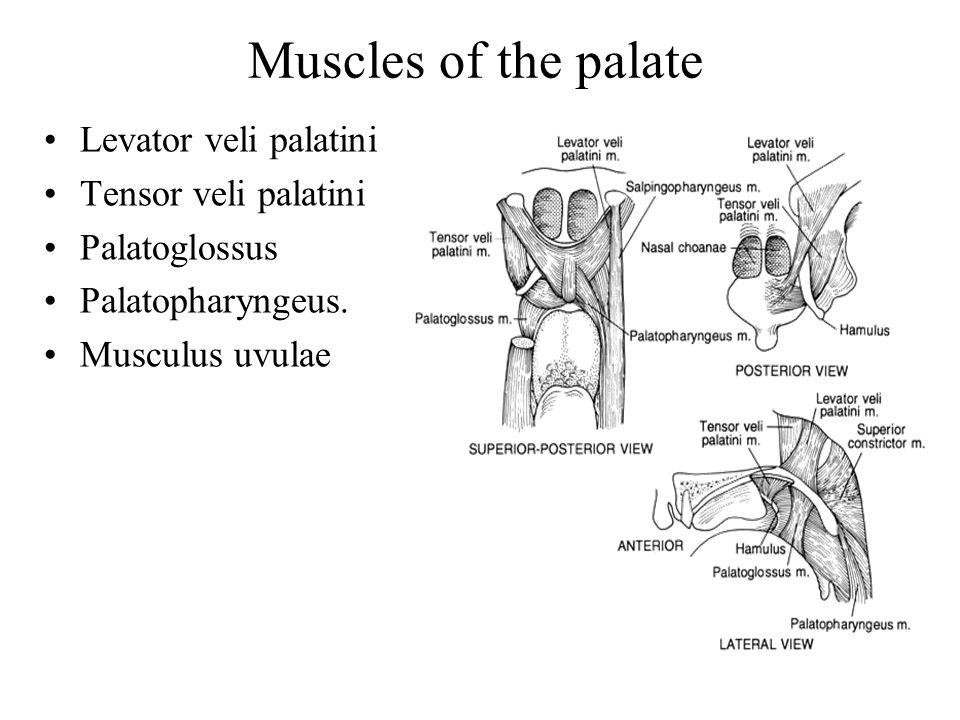 palatini Palatoglossus  Palatoglossus Palatopharyngeus