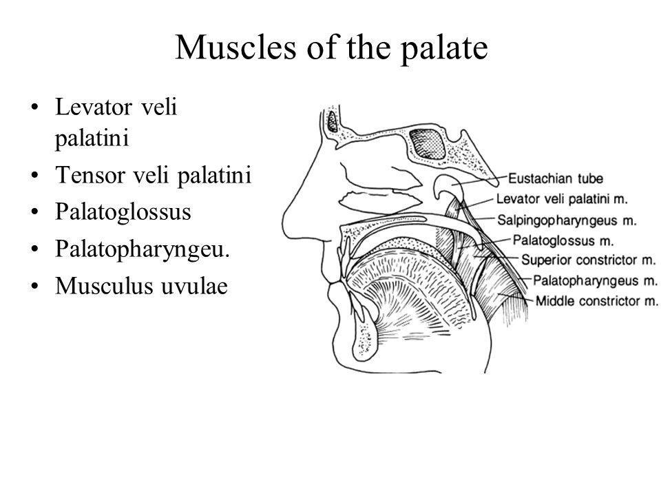 Muscles of the palate Levator veli palatini Tensor veli palatini Palatoglossus Palatopharyngeu.