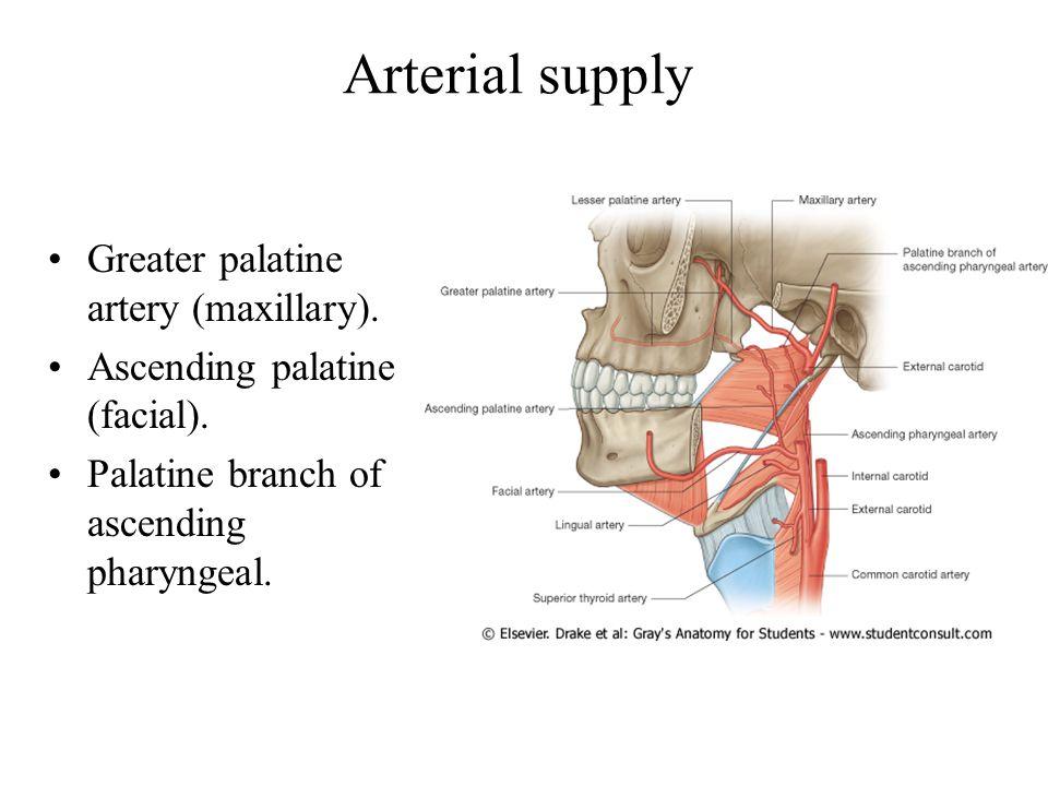 Arterial supply Greater palatine artery (maxillary).