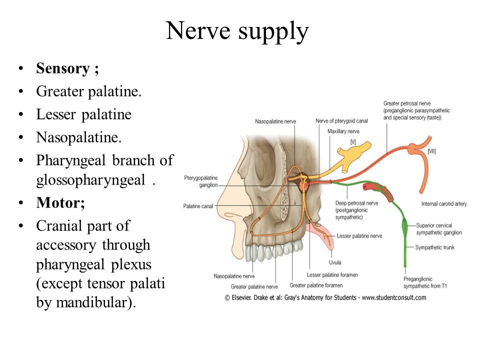Nerve supply Sensory ; Greater palatine.Lesser palatine Nasopalatine.