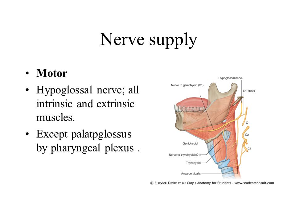 Nerve supply Motor Hypoglossal nerve; all intrinsic and extrinsic muscles.