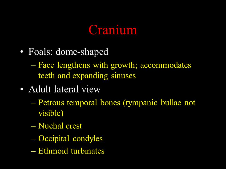 Cranium Foals: dome-shaped –Face lengthens with growth; accommodates teeth and expanding sinuses Adult lateral view –Petrous temporal bones (tympanic