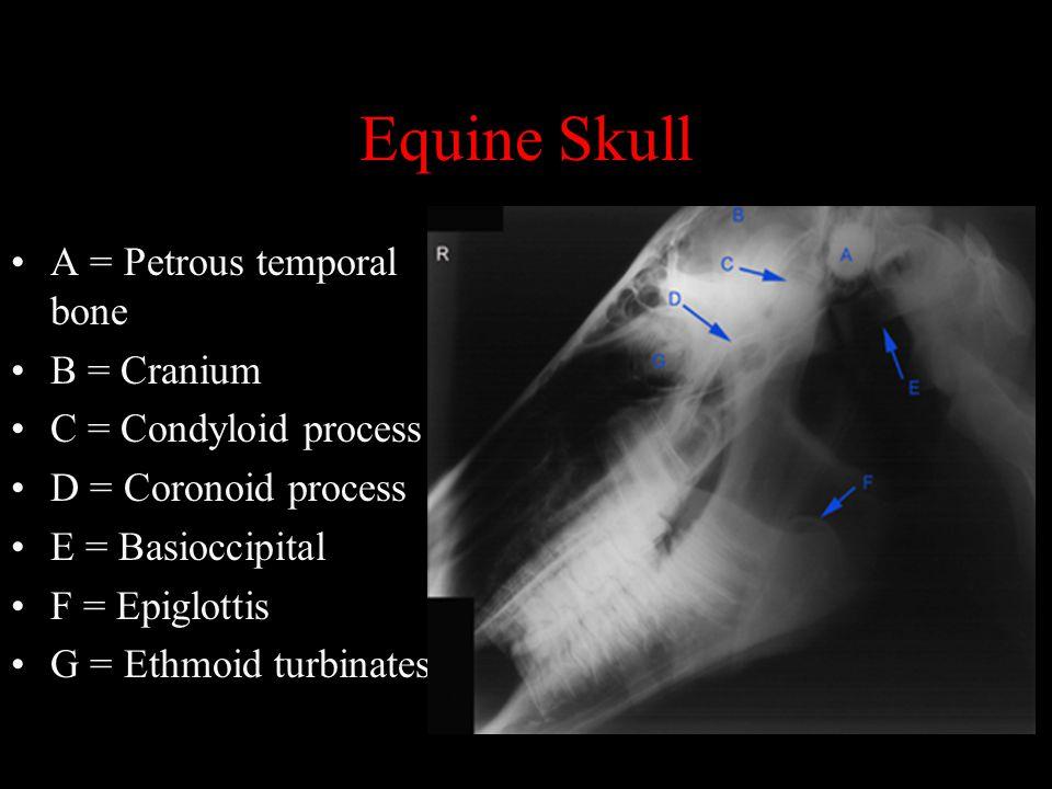 Equine Skull A = Petrous temporal bone B = Cranium C = Condyloid process D = Coronoid process E = Basioccipital F = Epiglottis G = Ethmoid turbinates