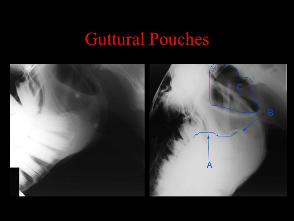 Guttural Pouches