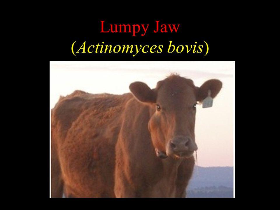 Lumpy Jaw (Actinomyces bovis)