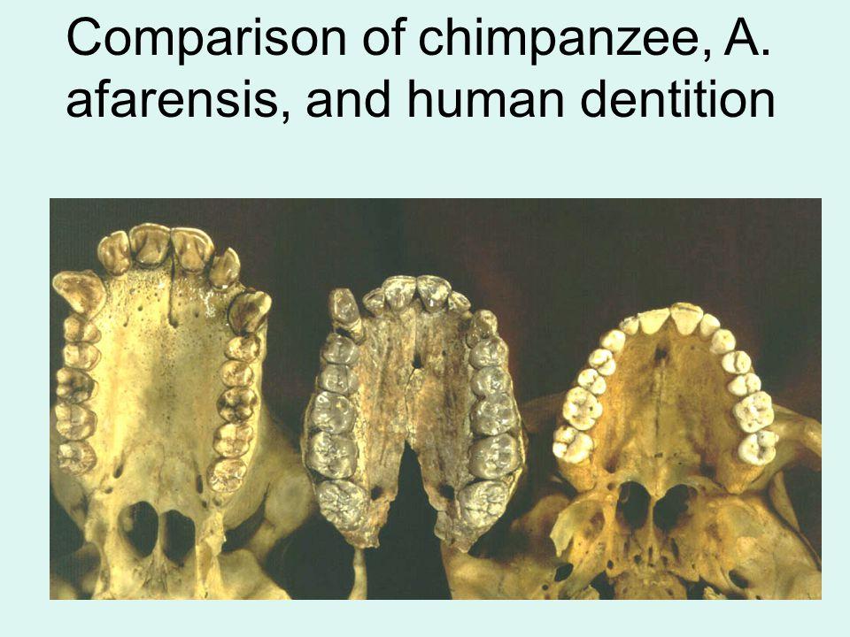 Comparison of chimpanzee, A. afarensis, and human dentition