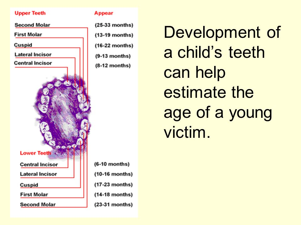 Development of a child's teeth can help estimate the age of a young victim.