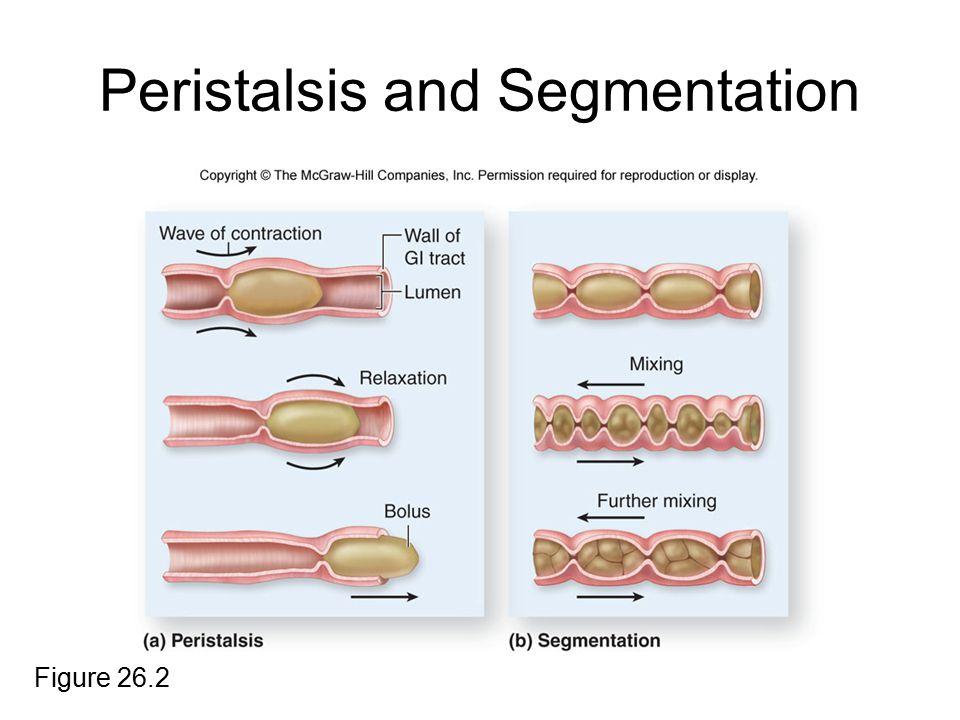 Peristalsis and Segmentation Figure 26.2