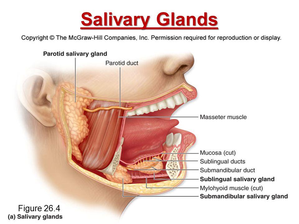 Salivary Glands Figure 26.4
