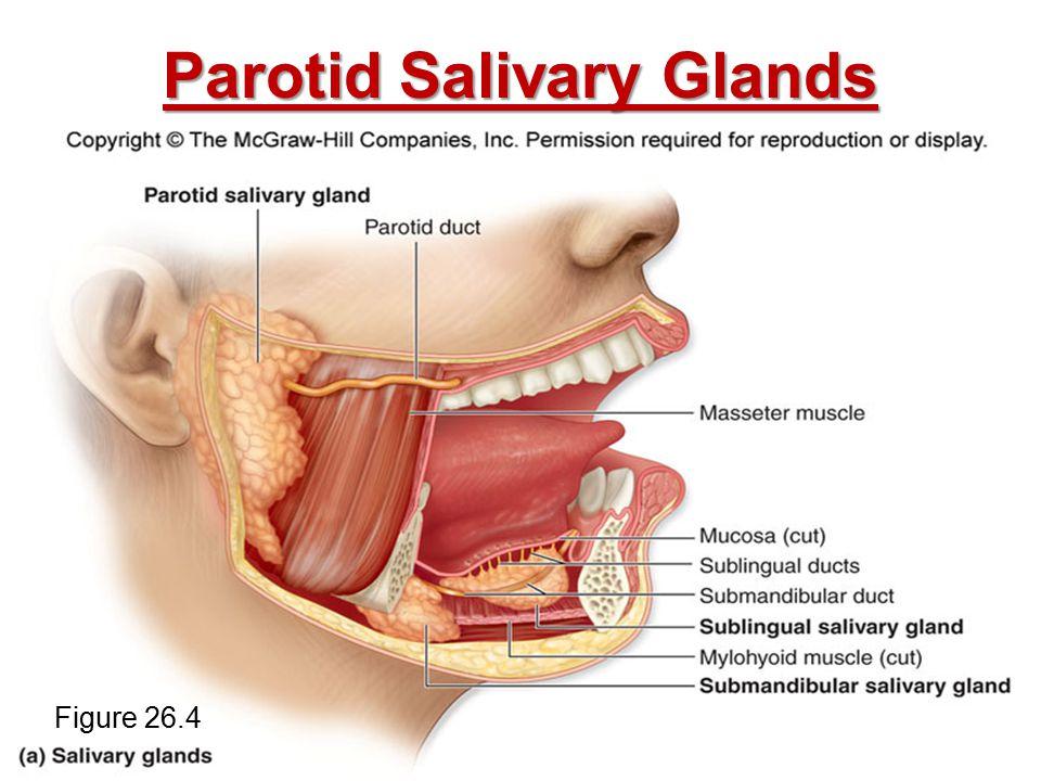 Parotid Salivary Glands Figure 26.4