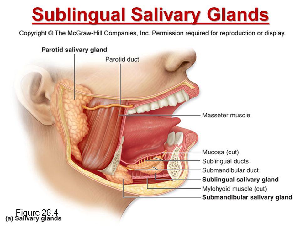 Sublingual Salivary Glands Figure 26.4
