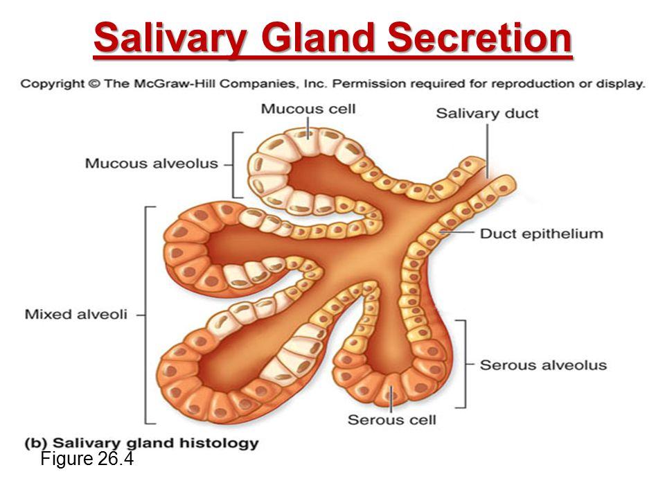 Salivary Gland Secretion Figure 26.4