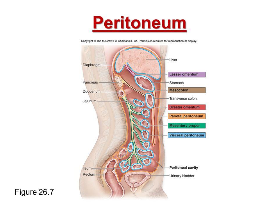 Peritoneum Figure 26.7