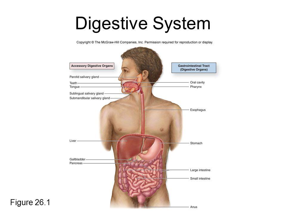 GI Tract Organs The GI tract organs are as follows: oral cavity pharynx esophagus stomach small intestine large intestine