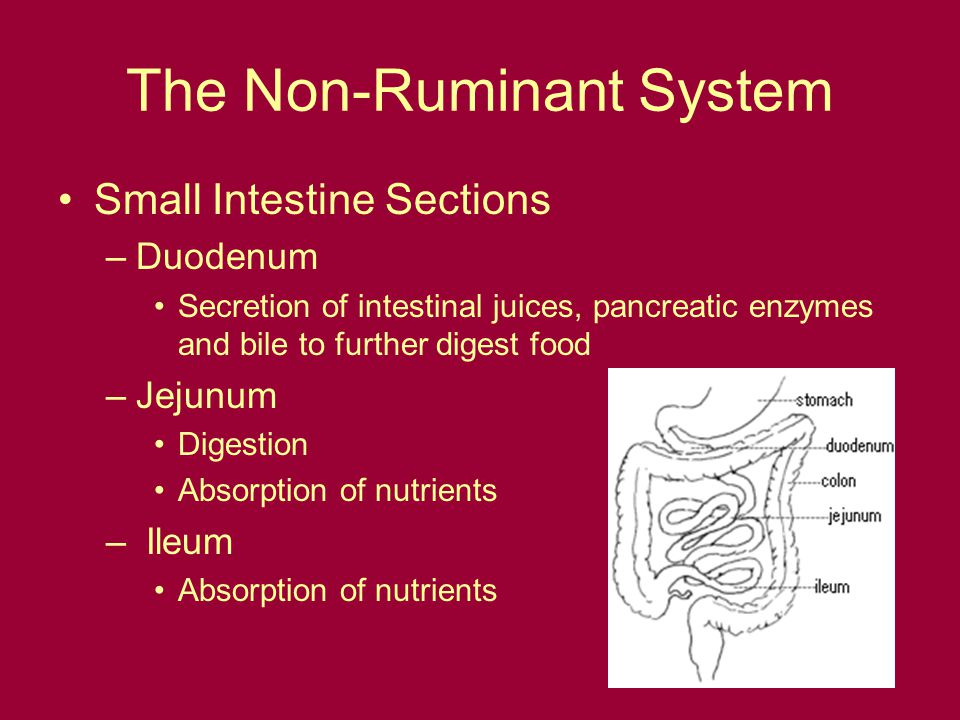 The Non-Ruminant System Small Intestine Sections –Duodenum Secretion of intestinal juices, pancreatic enzymes and bile to further digest food –Jejunum