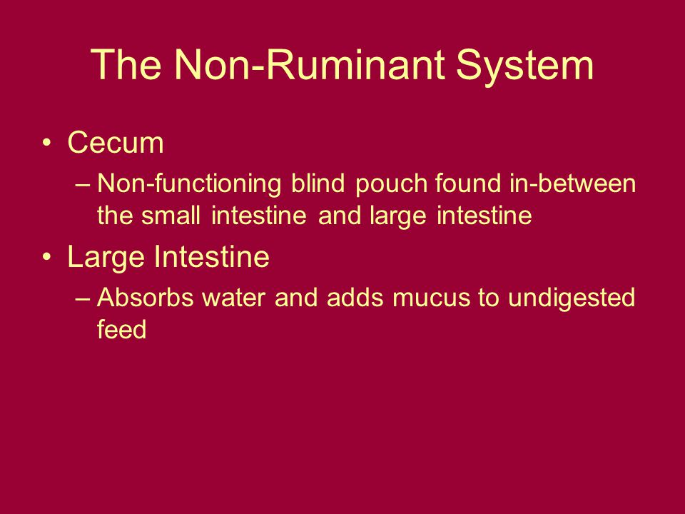 The Non-Ruminant System Cecum –Non-functioning blind pouch found in-between the small intestine and large intestine Large Intestine –Absorbs water and