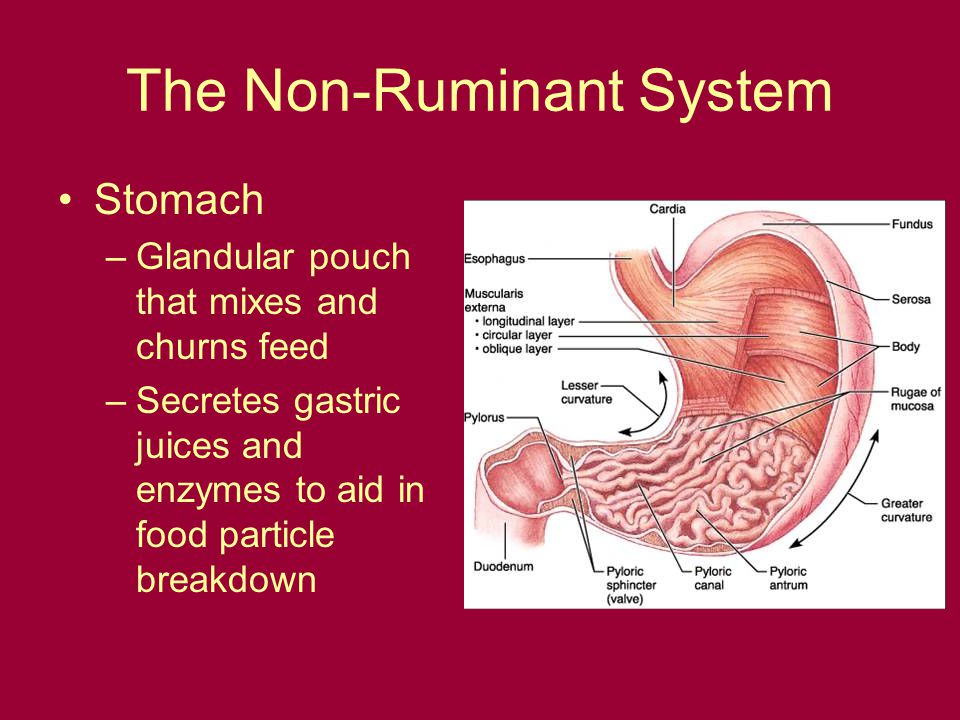 The Non-Ruminant System Stomach –Glandular pouch that mixes and churns feed –Secretes gastric juices and enzymes to aid in food particle breakdown
