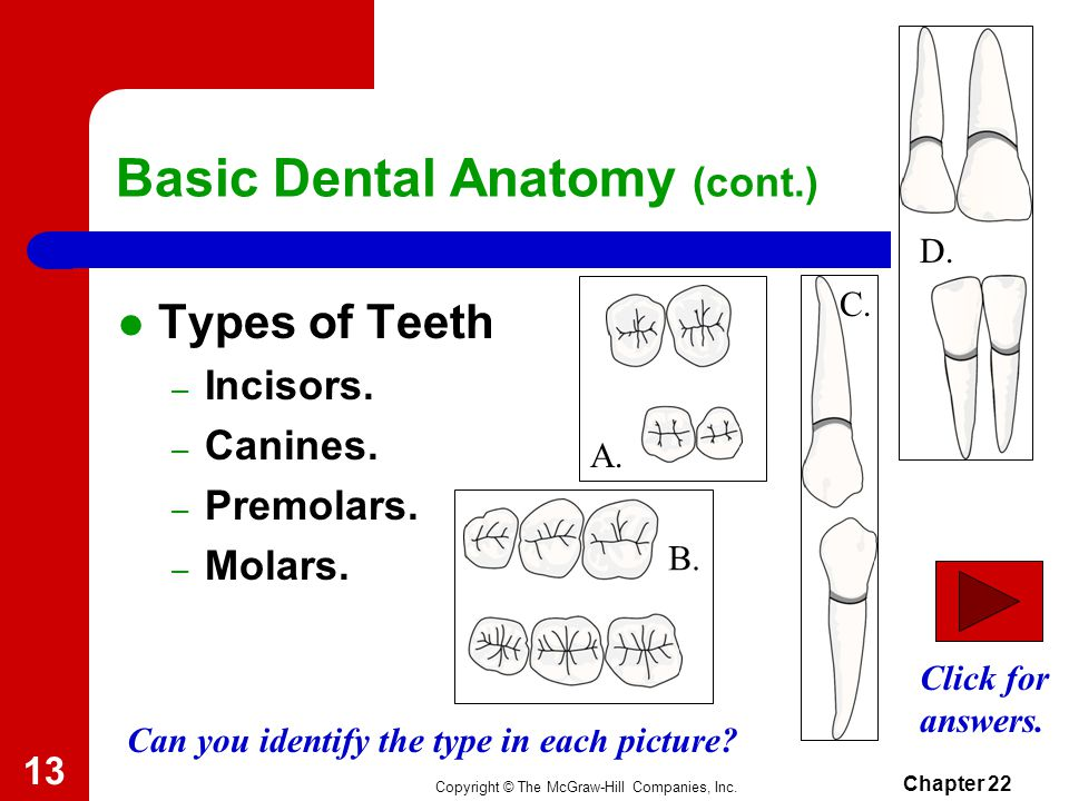 Copyright © The McGraw-Hill Companies, Inc. Chapter 22 13 Types of Teeth – Incisors.