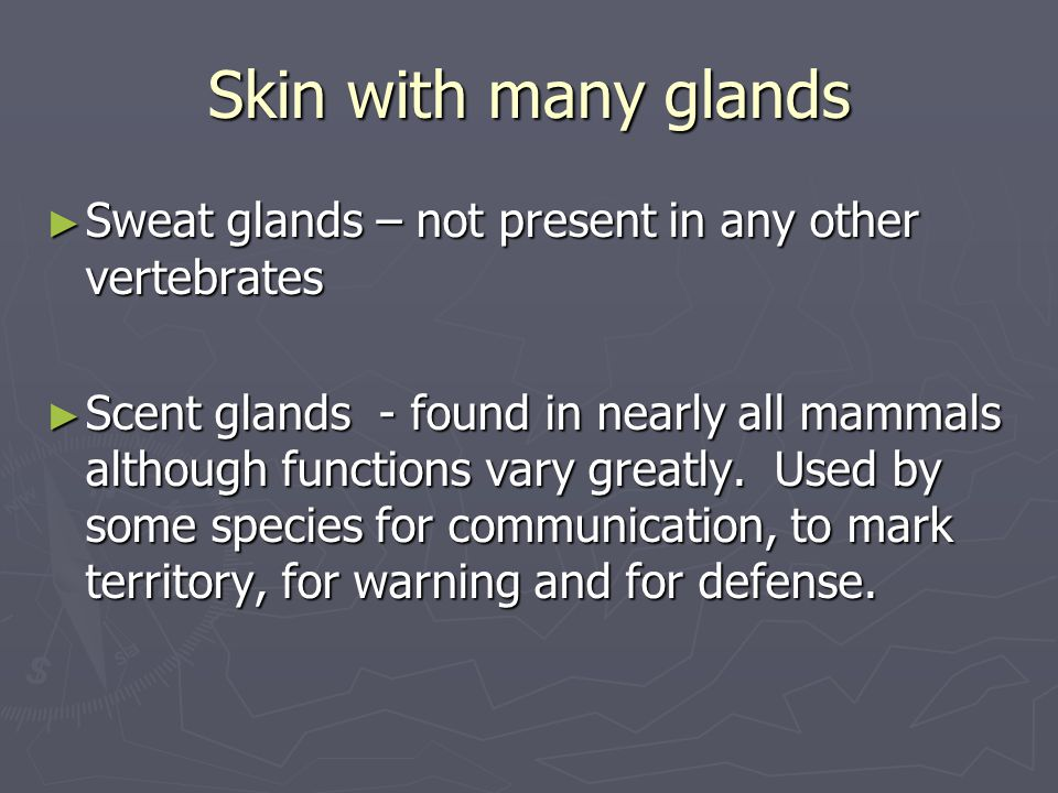 Skin with many glands ► Sweat glands – not present in any other vertebrates ► Scent glands - found in nearly all mammals although functions vary great