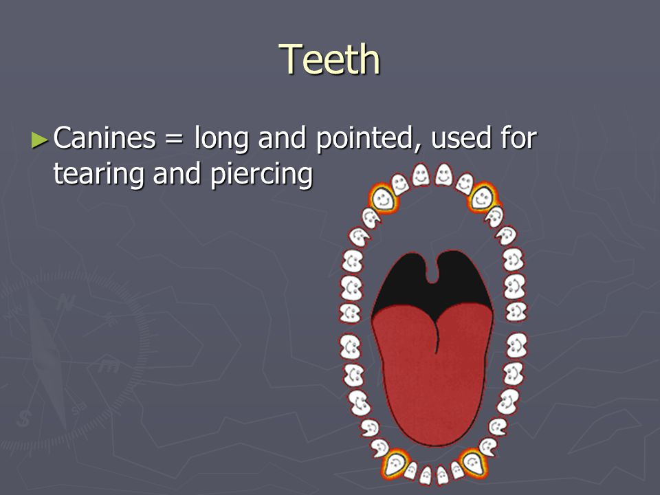 Teeth ► Canines = long and pointed, used for tearing and piercing