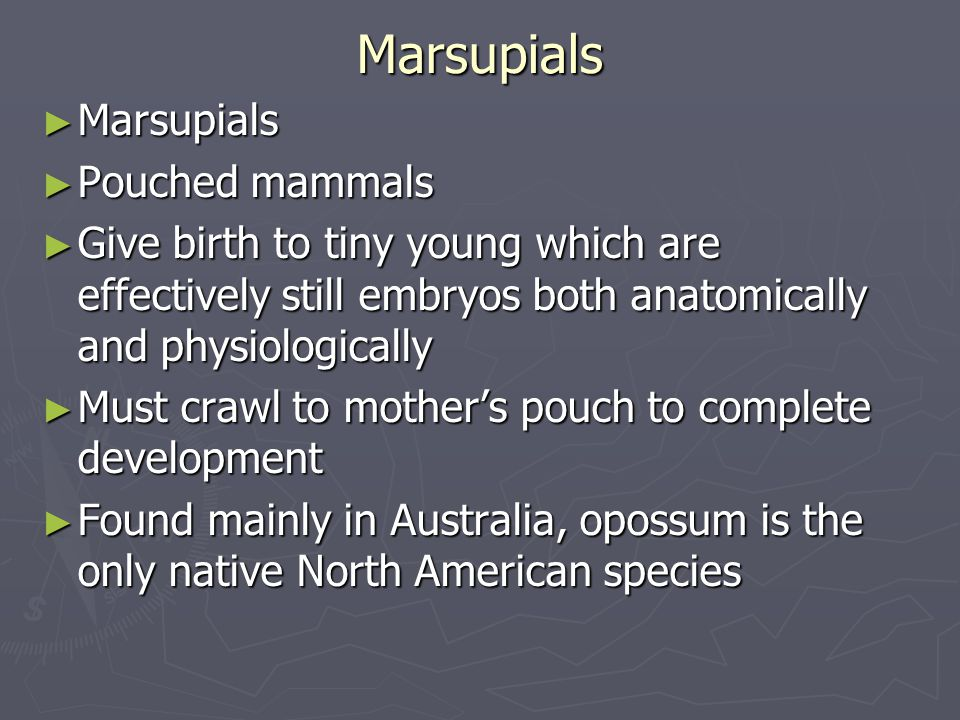 Marsupials ► Marsupials ► Pouched mammals ► Give birth to tiny young which are effectively still embryos both anatomically and physiologically ► Must