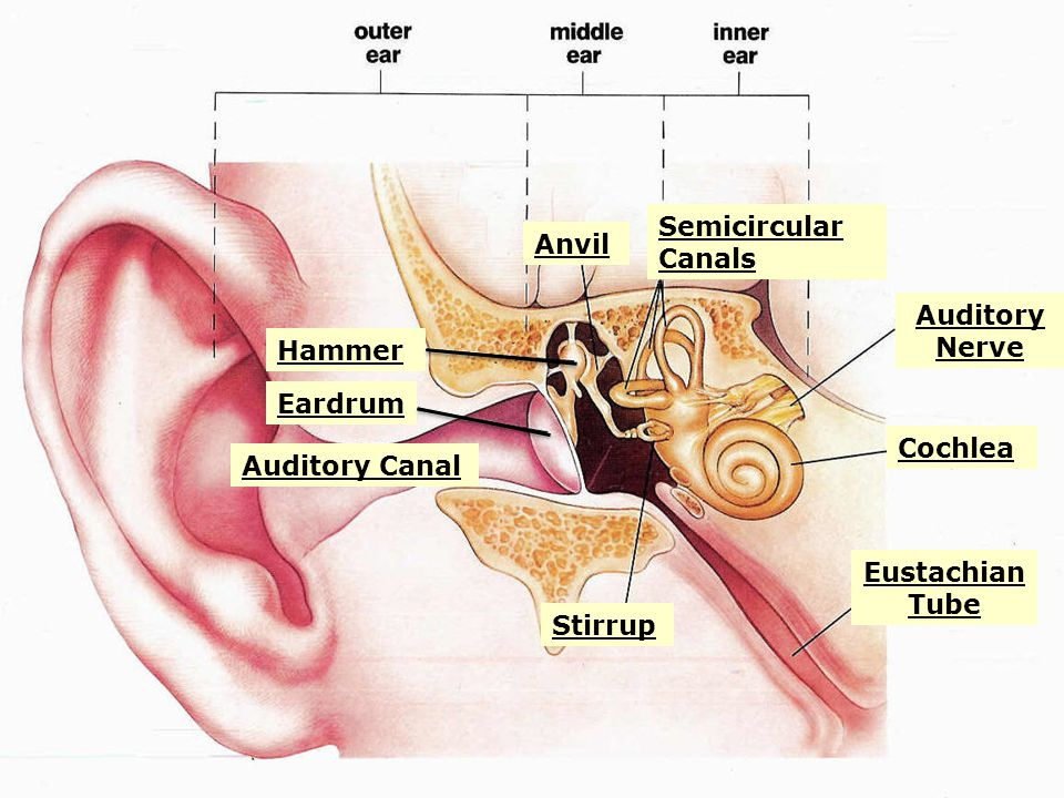 Hammer Eardrum Auditory Canal Stirrup Eustachian Tube Cochlea Auditory Nerve Semicircular Canals Anvil