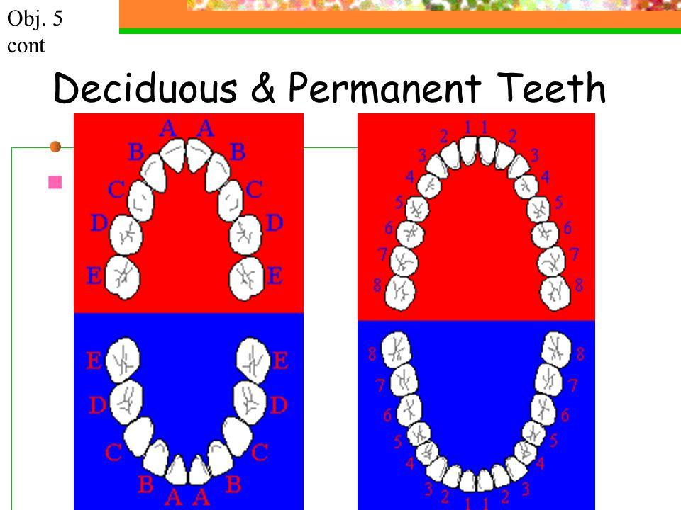 Deciduous & Permanent Teeth Obj. 5 cont