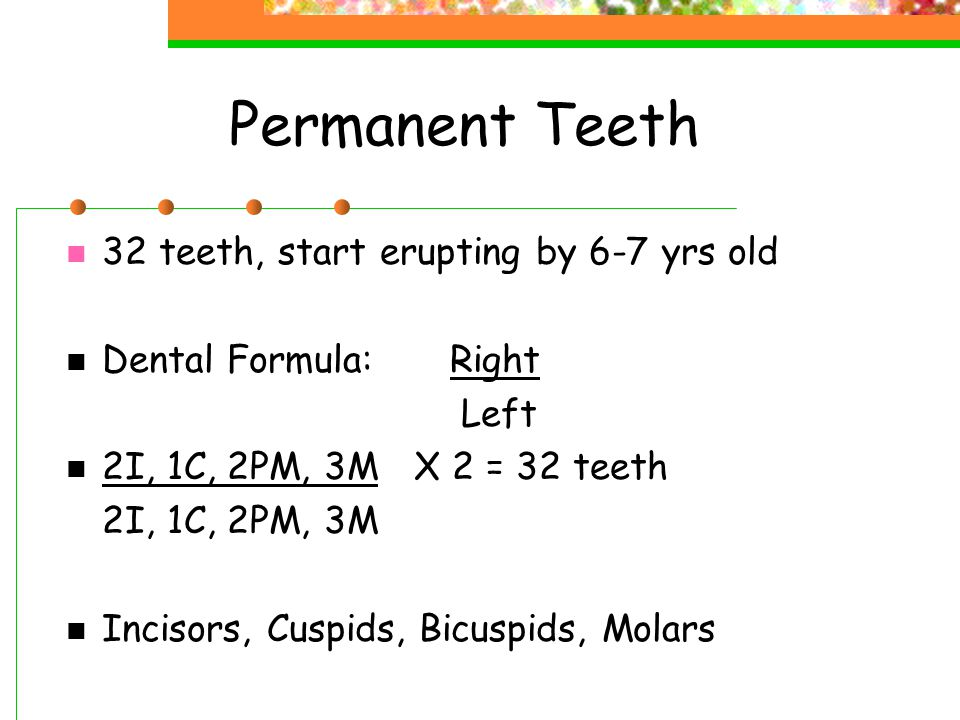 Permanent Teeth 32 teeth, start erupting by 6-7 yrs old Dental Formula:Right Left 2I, 1C, 2PM, 3M X 2 = 32 teeth 2I, 1C, 2PM, 3M Incisors, Cuspids, Bicuspids, Molars