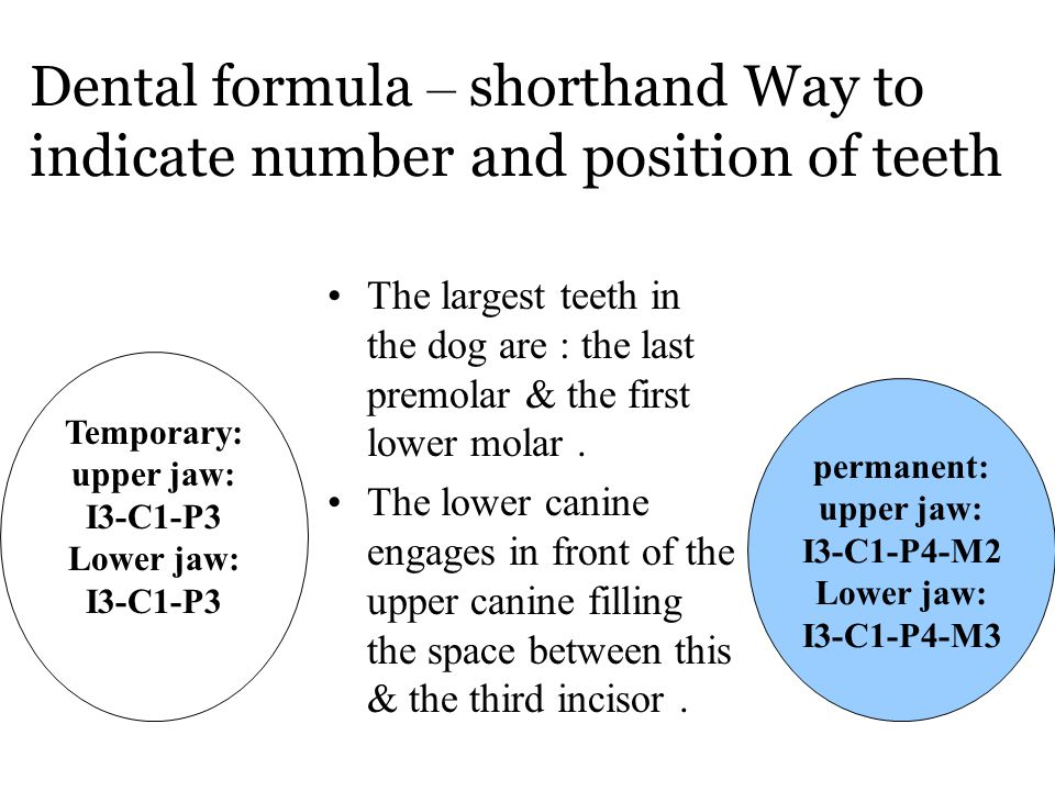 Dental formula – shorthand Way to indicate number and position of teeth The largest teeth in the dog are : the last premolar & the first lower molar.