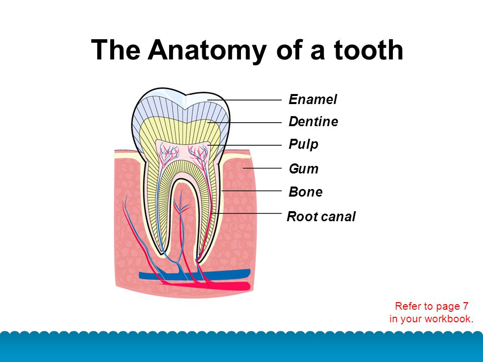 The Anatomy of a tooth Refer to page 7 in your workbook. E entine P G B R D namel ulp um one oot canal