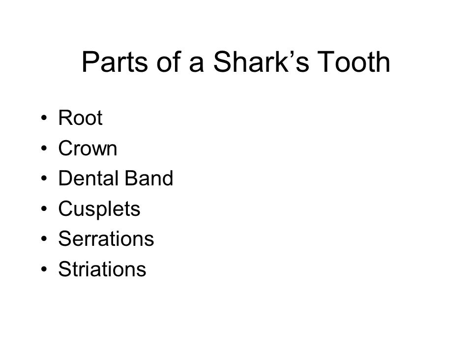 Parts of a Shark's Tooth Root Crown Dental Band Cusplets Serrations Striations