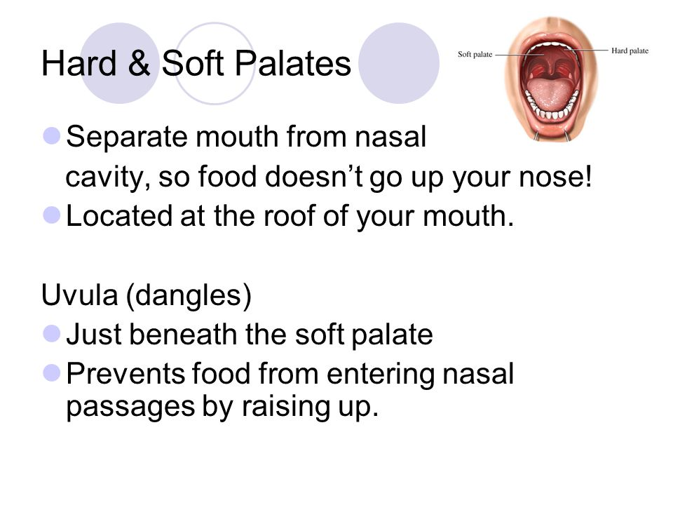 Hard & Soft Palates Separate mouth from nasal cavity, so food doesn't go up your nose! Located at the roof of your mouth. Uvula (dangles) Just beneath