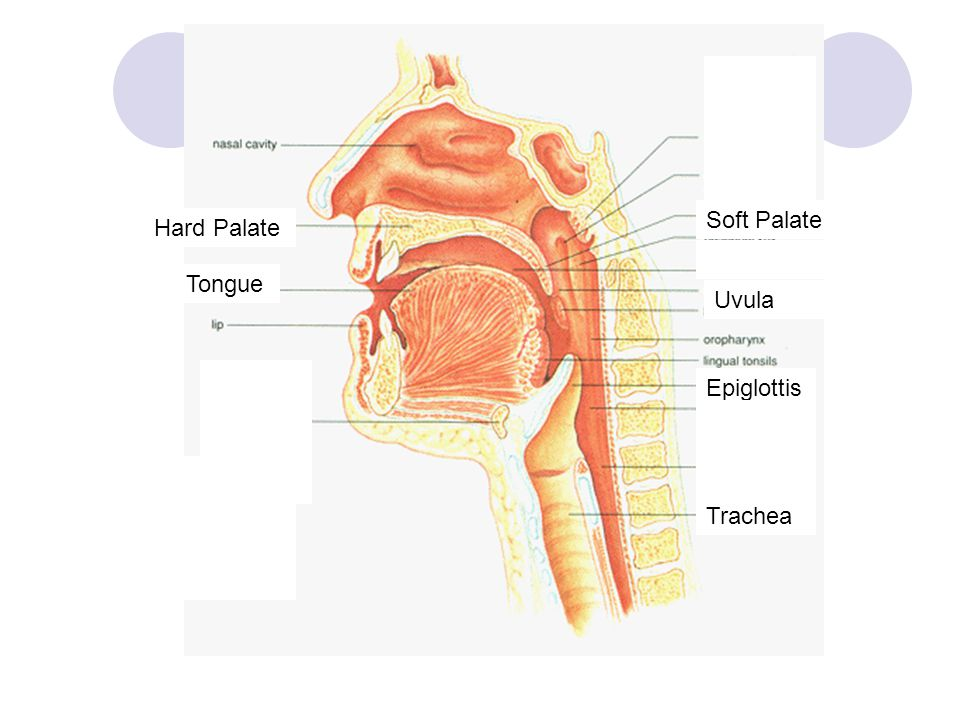 Hard Palate Soft Palate Epiglottis Trachea Tongue Uvula