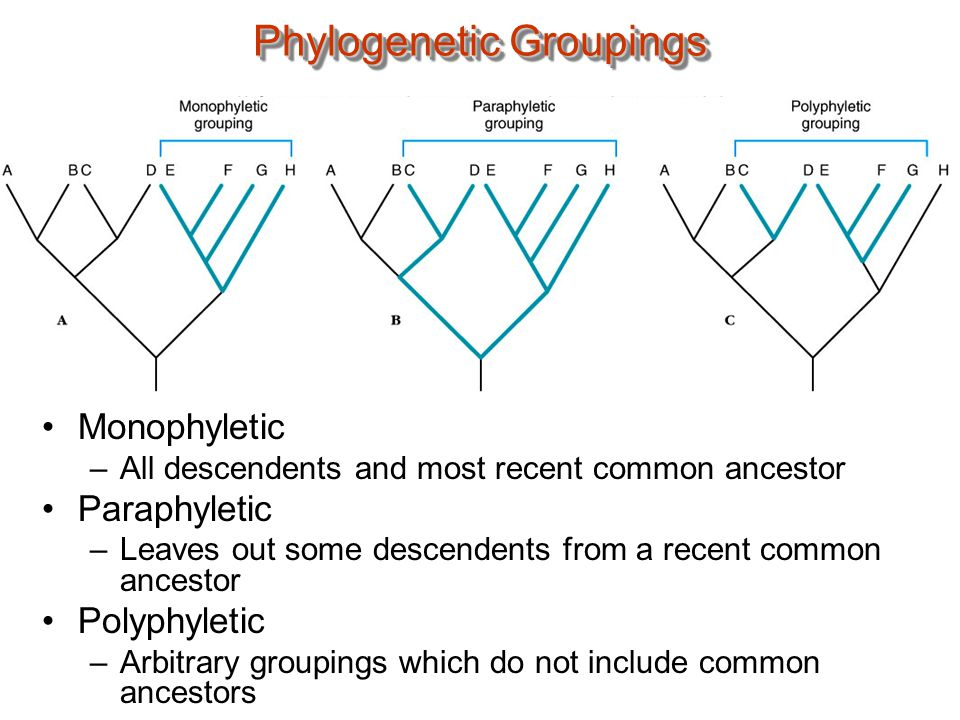 Phylogenetic Groupings Monophyletic –All descendents and most recent common ancestor Paraphyletic –Leaves out some descendents from a recent common ancestor Polyphyletic –Arbitrary groupings which do not include common ancestors