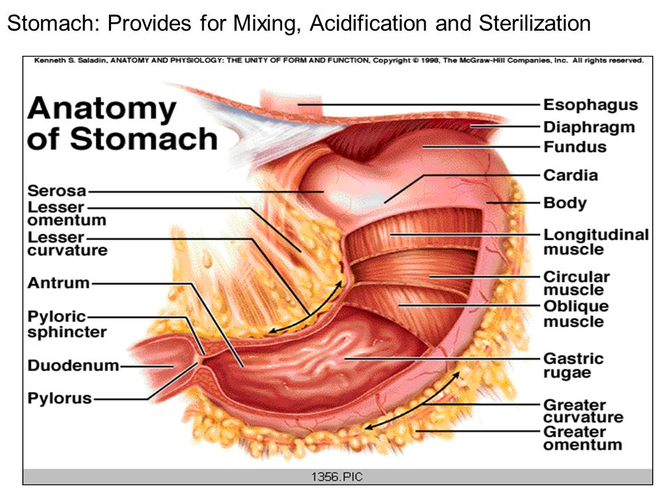 Stomach: Provides for Mixing, Acidification and Sterilization