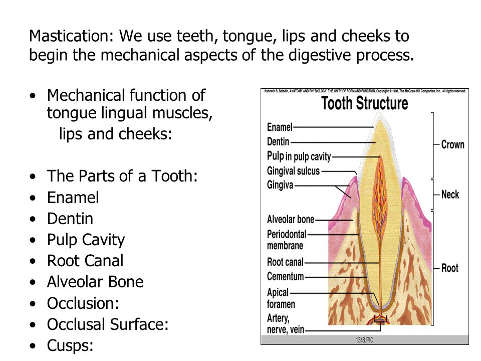 Mastication: We use teeth, tongue, lips and cheeks to begin the mechanical aspects of the digestive process.