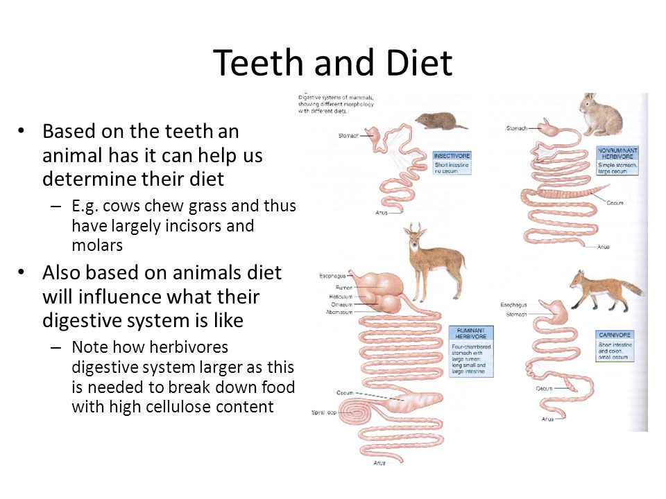 Teeth and Diet Based on the teeth an animal has it can help us determine their diet – E.g. cows chew grass and thus have largely incisors and molars A