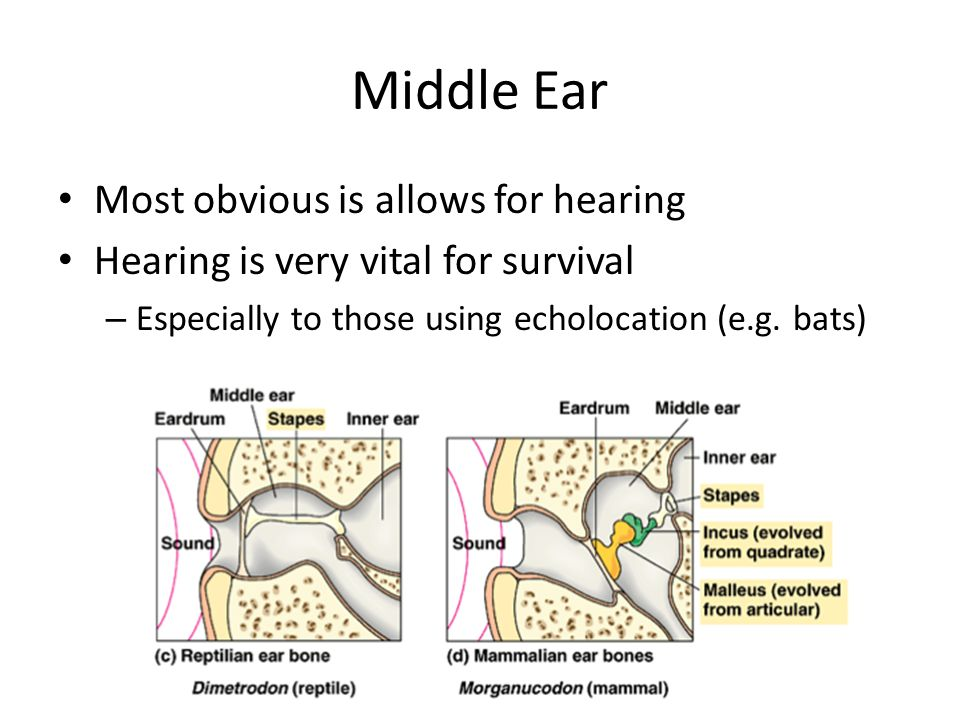 Middle Ear Most obvious is allows for hearing Hearing is very vital for survival – Especially to those using echolocation (e.g. bats)