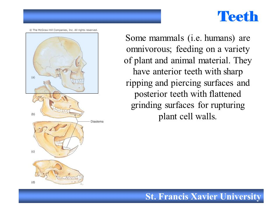 St. Francis Xavier University Teeth Some mammals (i.e. humans) are omnivorous; feeding on a variety of plant and animal material. They have anterior t