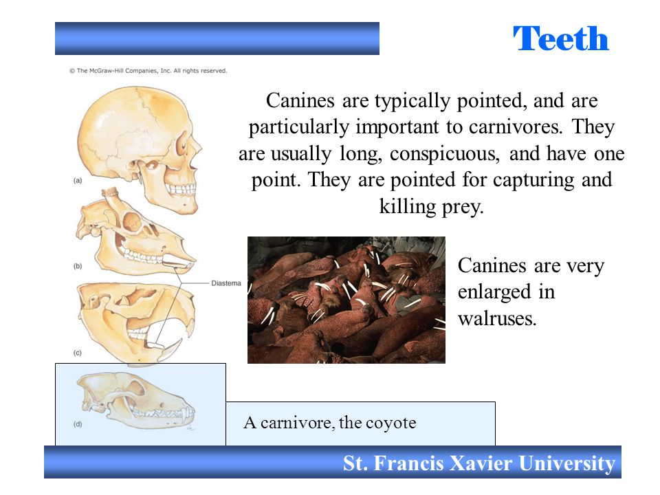St. Francis Xavier University Teeth Canines are typically pointed, and are particularly important to carnivores. They are usually long, conspicuous, a