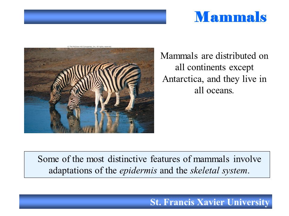 St. Francis Xavier University Mammals Mammals are distributed on all continents except Antarctica, and they live in all oceans. Some of the most disti