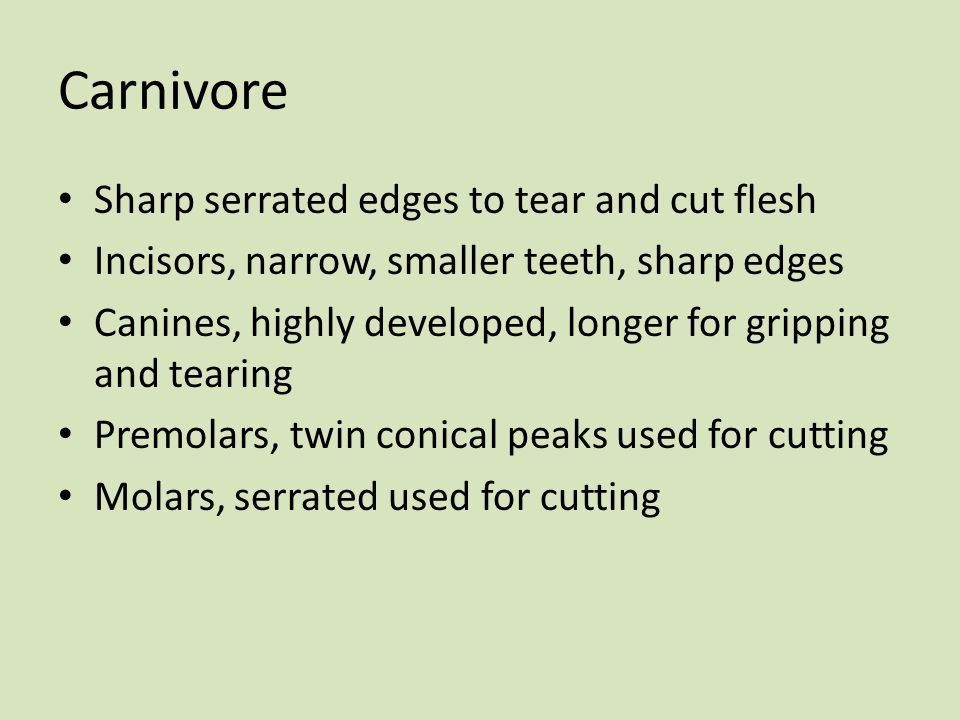 Carnivore Sharp serrated edges to tear and cut flesh Incisors, narrow, smaller teeth, sharp edges Canines, highly developed, longer for gripping and t