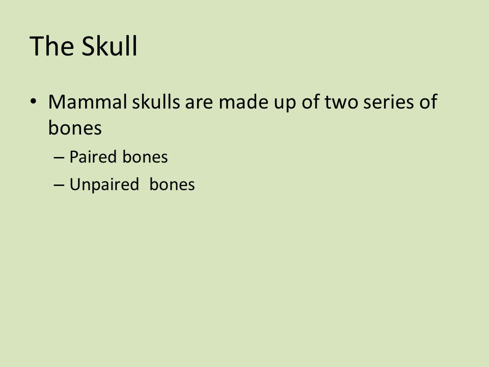 The Skull Mammal skulls are made up of two series of bones – Paired bones – Unpaired bones